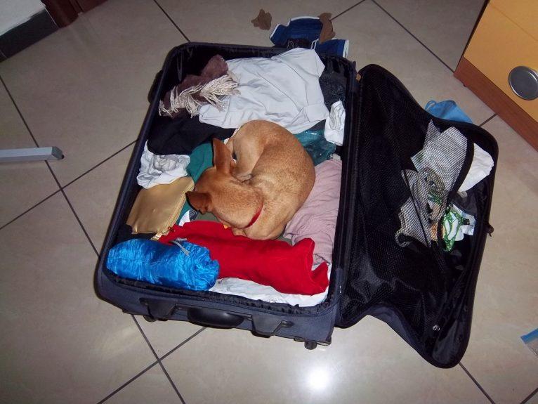 cachorro viagem 13