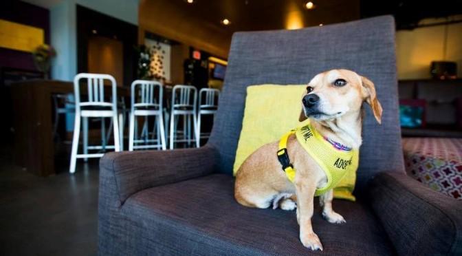 cachorros-pra-adocao-hotel-aloft