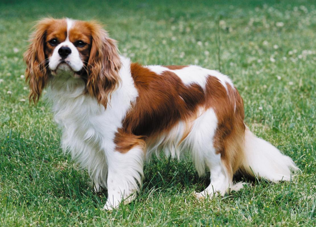Pity, that king charles spaniel adult for sale necessary