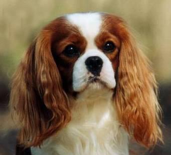 Long Ear Dogs Breed