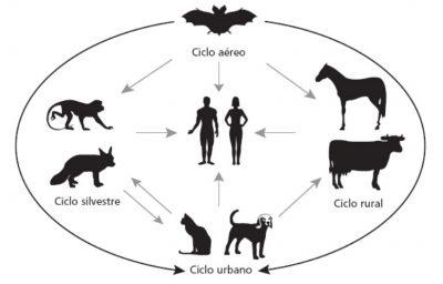 ciclo da raiva canina