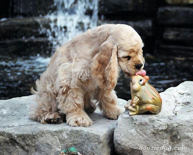 Tudo Sobre Cachorros Tudo Sobre O Cocker Spaniel Americano