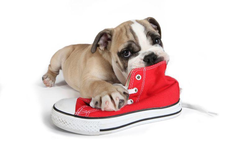 como-fazer-seu-cao-parar-de-morder-sapatos