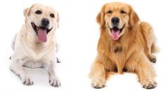 diferencas-labrador-golden-retriever