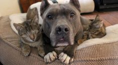 gatos-cegos-recebem-apoio-de-pitbulls-02