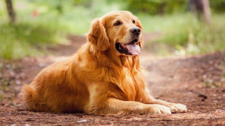 golden-retriever-labrador