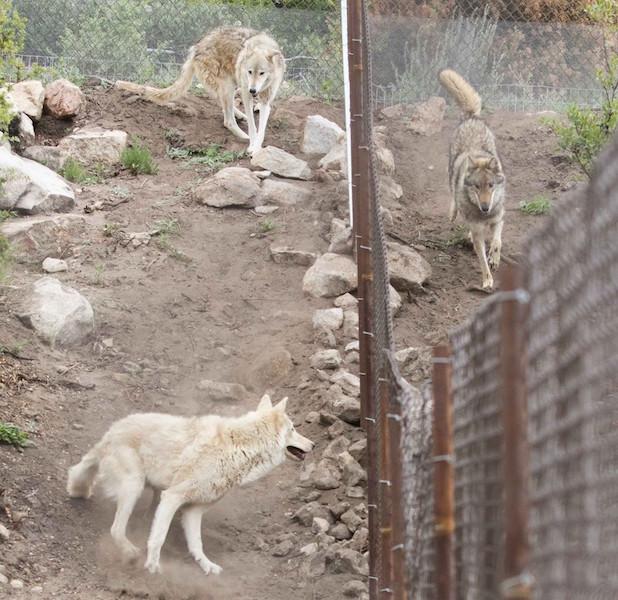homem-adota-filhote-descobre-que-nao-e-cachorro-e-sim-lobo-04