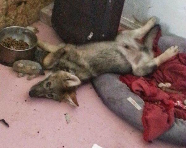 homem-adota-filhote-descobre-que-nao-e-cachorro-e-sim-lobo