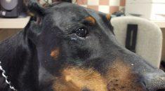 linfoma cachorro