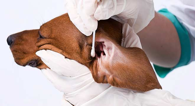 Dog Ear Infection Home Remedy Olive Oil