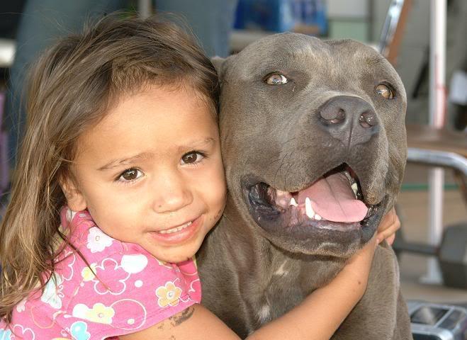 pit bull agressivo 10