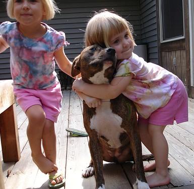 pit bull agressivo 12