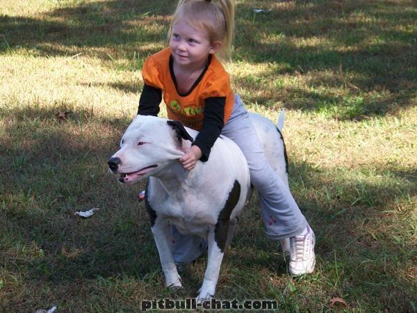 pit bull agressivo 16