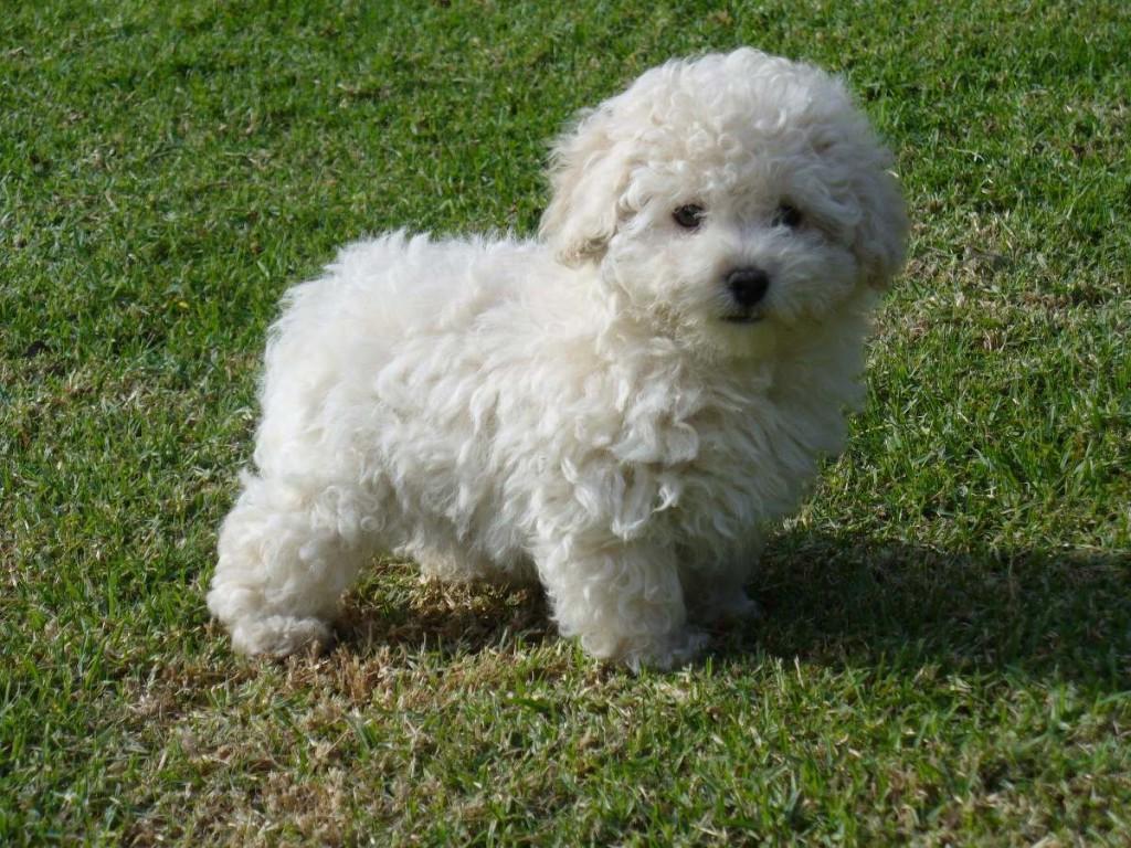 10 raças de cachorros pequenos e fofos Tudo Sobre Cachorros #495F28 1024x768 Aqui Não é Banheiro De Cachorro