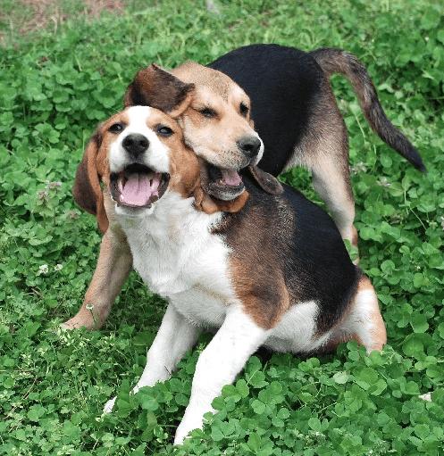 raças que mais brincam beagle