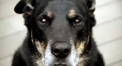 raças de cachorros que vivem mais tempo