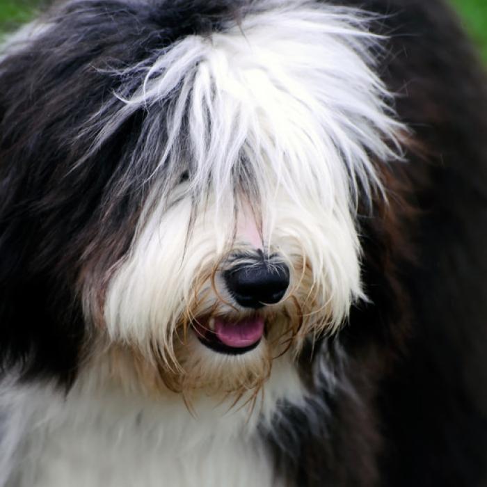 Tudo Sobre A Ra 231 A Old English Sheepdog