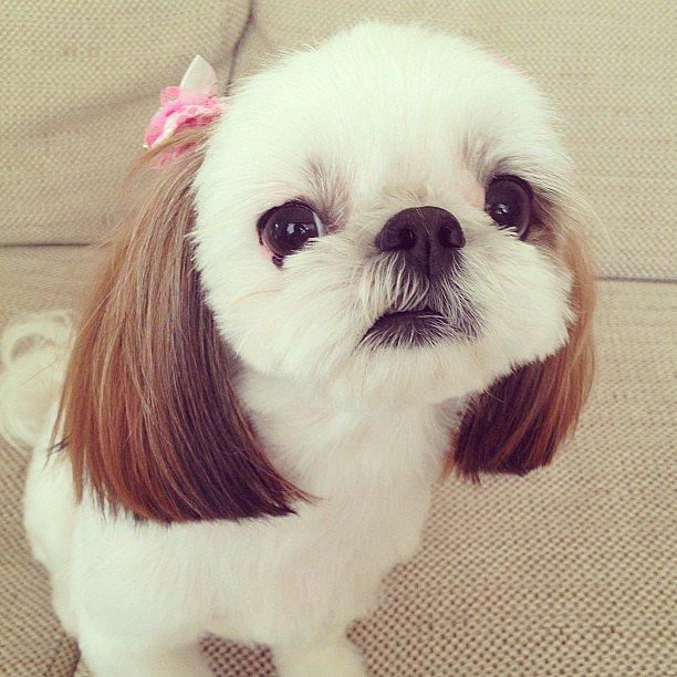 10 Fotos Comprovam Que O Shih Tzu 233 Um Dos Cachorros Mais