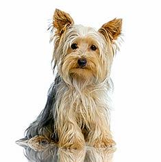 Tudo Sobre A Raca Yorkshire Terrier Tudo Sobre Cachorros