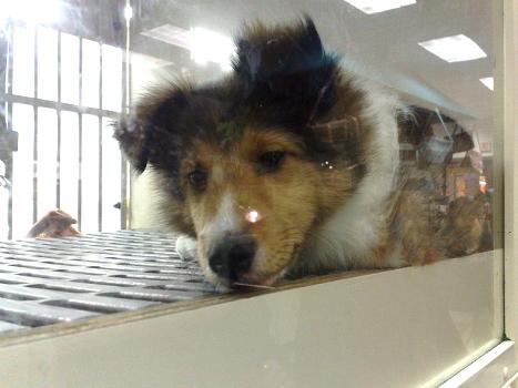 Collie entediado à venda em uma pet shop: procedência desconhecida