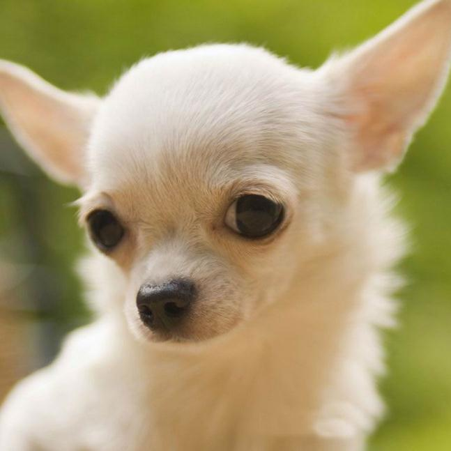 Chihuahuas Get On Best With What Dogs