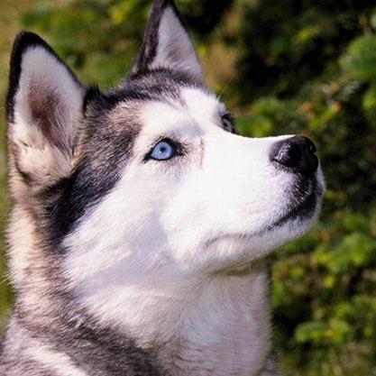 Cao husky siberiano
