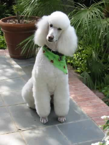 Tudo sobre a raça de cachorro Poodle, dicas, preços e curiosidades.