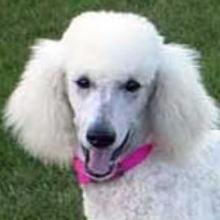 Valor corte de pelo poodle