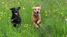 Cachorro correndo na grama