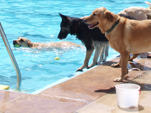 Cachorros brincando na piscina