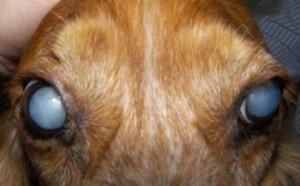 cachorro catarata