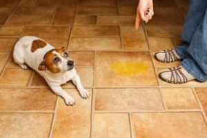 cachorro xixi fora do lugar como limpar