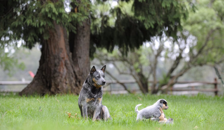 Fotos De Australian Cattle Dog
