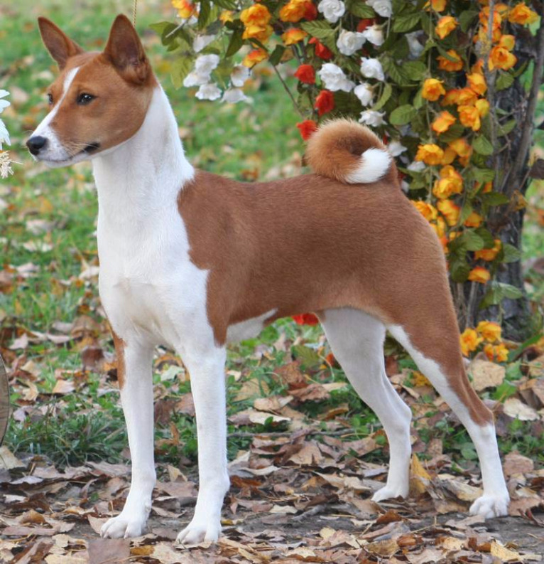 Basenji Dog Breed Pictures