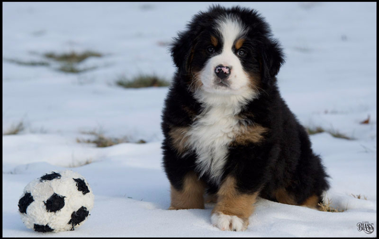 Burnese Mountain Dogs For Sale New Jersey