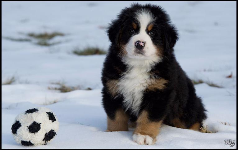 Fotos De Bernese Mountain Dog