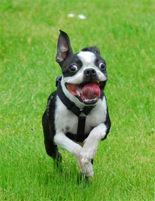 Boston Terrier Filhotes