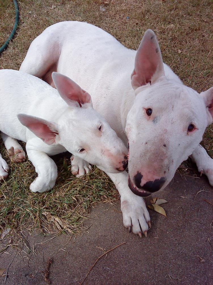 Veja Fotos De Filhotes De Bull Terrier E De C 227 Es Adultos