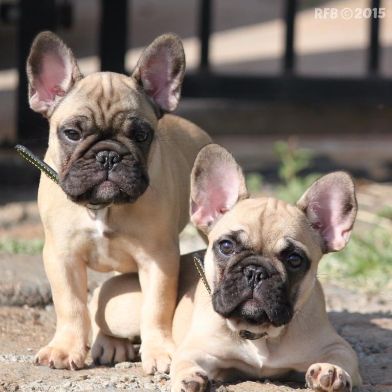 Veja Fotos De Filhotes De Bulldog Franc 234 S E De C 227 Es Adultos