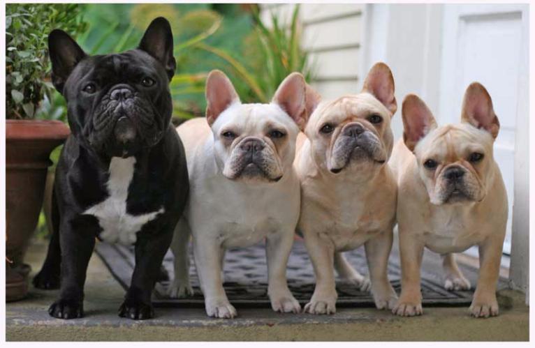 Tudo Sobre A Raça Bulldog Francês Tudo Sobre Cachorros