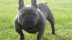 Bulldog Frances blue