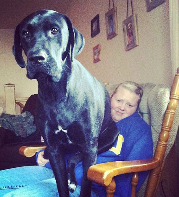 Huge-Dogs-Who-Think-They-Are-Small-2__605