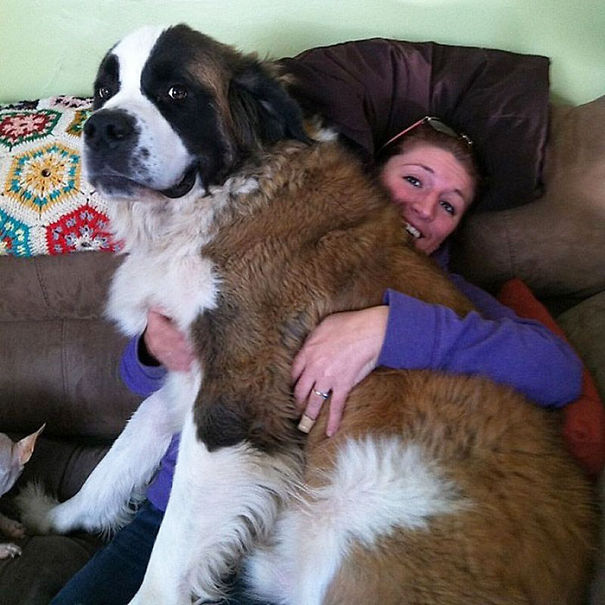 Huge-Dogs-Who-Think-They-Are-Small-5__605