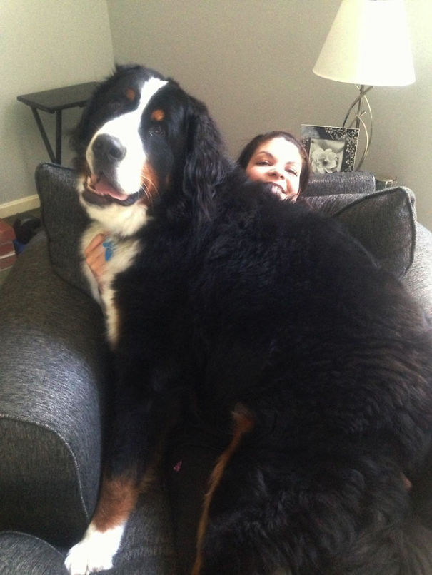 Huge-Dogs-Who-Think-They-Are-Small-7__605