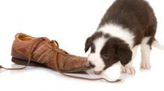 cachorro comendo chinelo