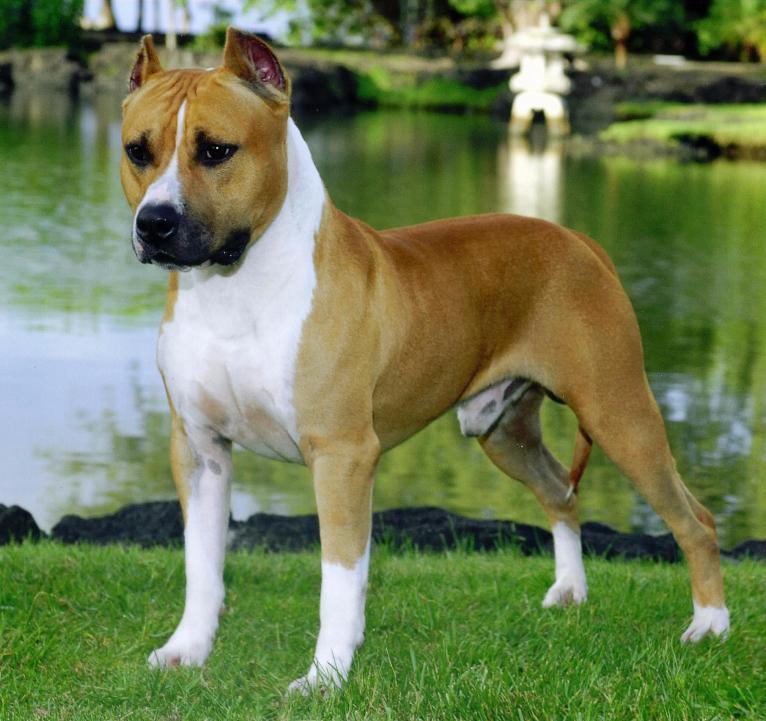 tudo sobre a raça american staffordshire terrier