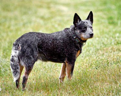 australian cattle dog boiadeiro australiano