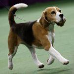 beagle padrão