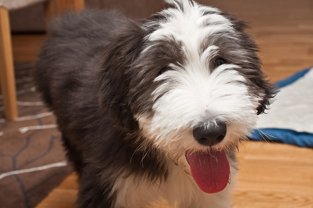 bearded collie racas carinhosas
