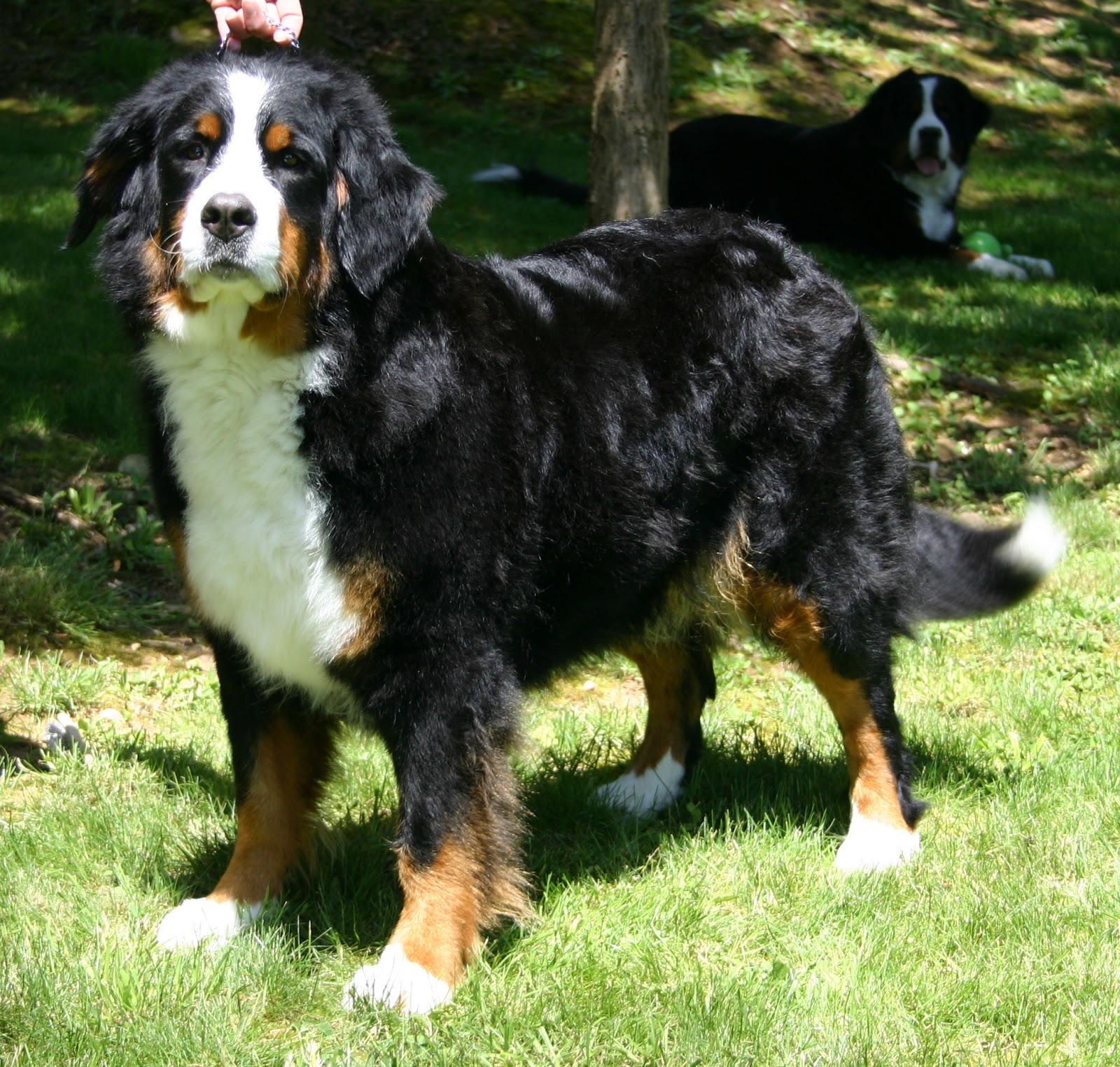 Bernese Mountain Dog Puppies Mn